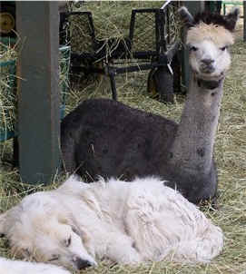 Napping with an alpaca.